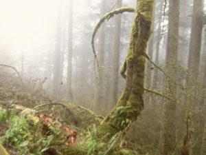Interesting tree. Temperate rain forests are the best. :)